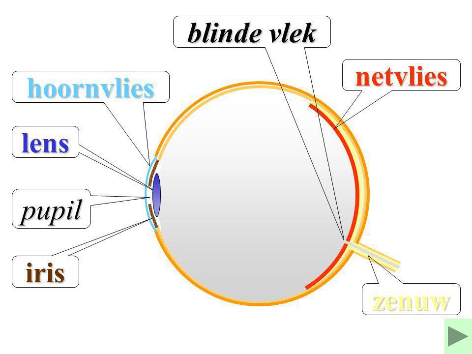 blinde vlek netvlies hoornvlies lens pupil iris zenuw