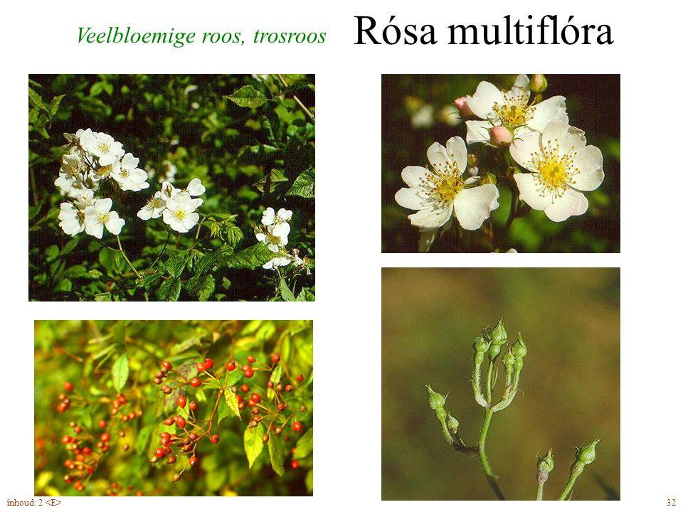 Rósa multiflóra Veelbloemige roos, trosroos inhoud: 2 <E> 32