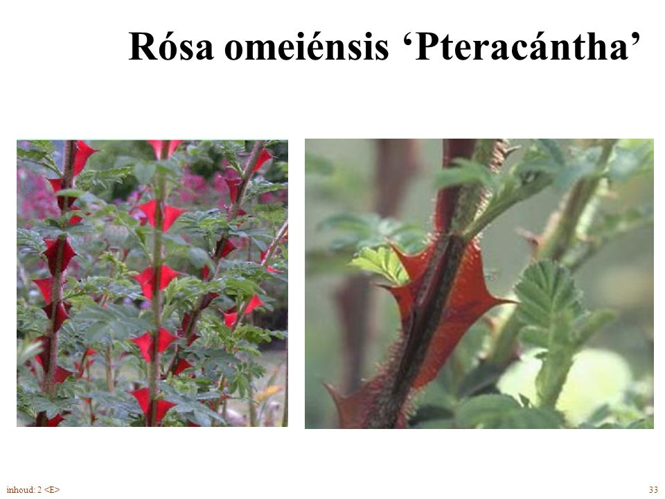 Rósa omeiénsis 'Pteracántha'