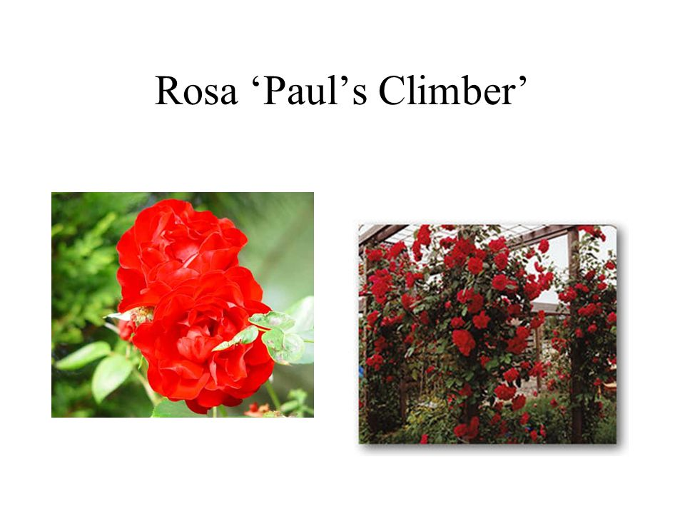 Rosa 'Paul's Climber'