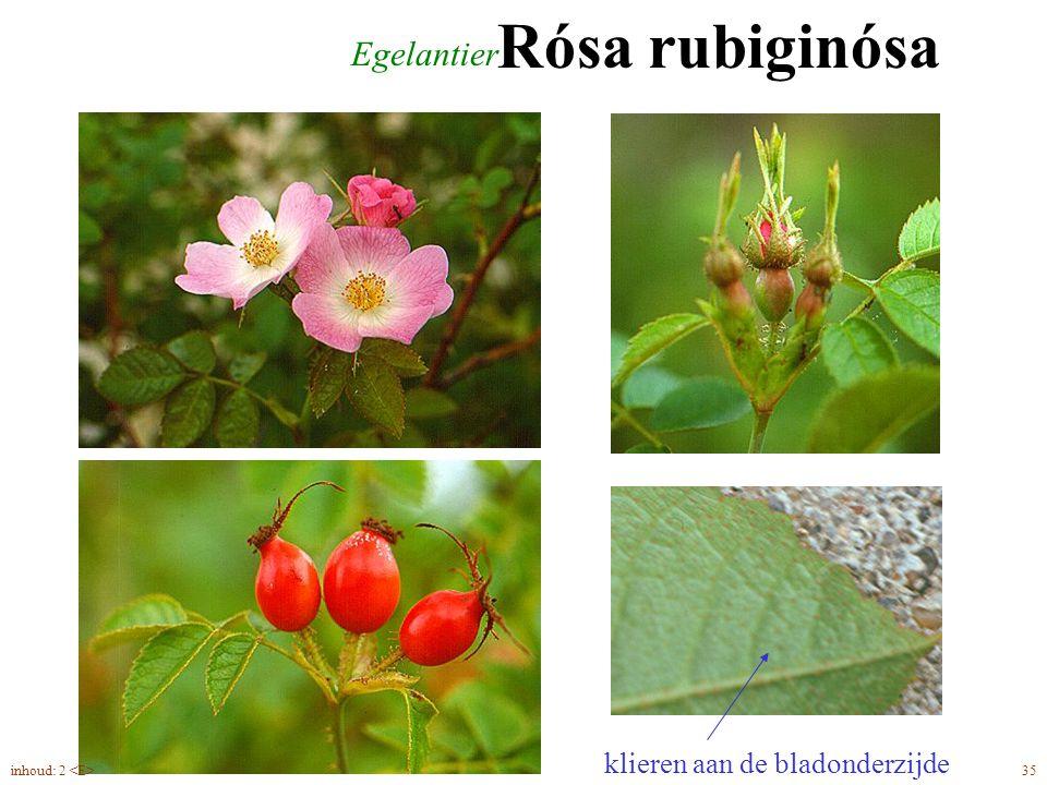 Rósa rubiginósa Egelantier klieren aan de bladonderzijde