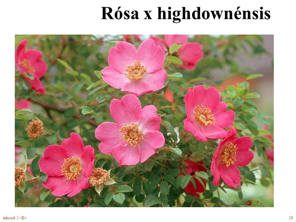 Rósa x highdownénsis inhoud: 2 <E> 29