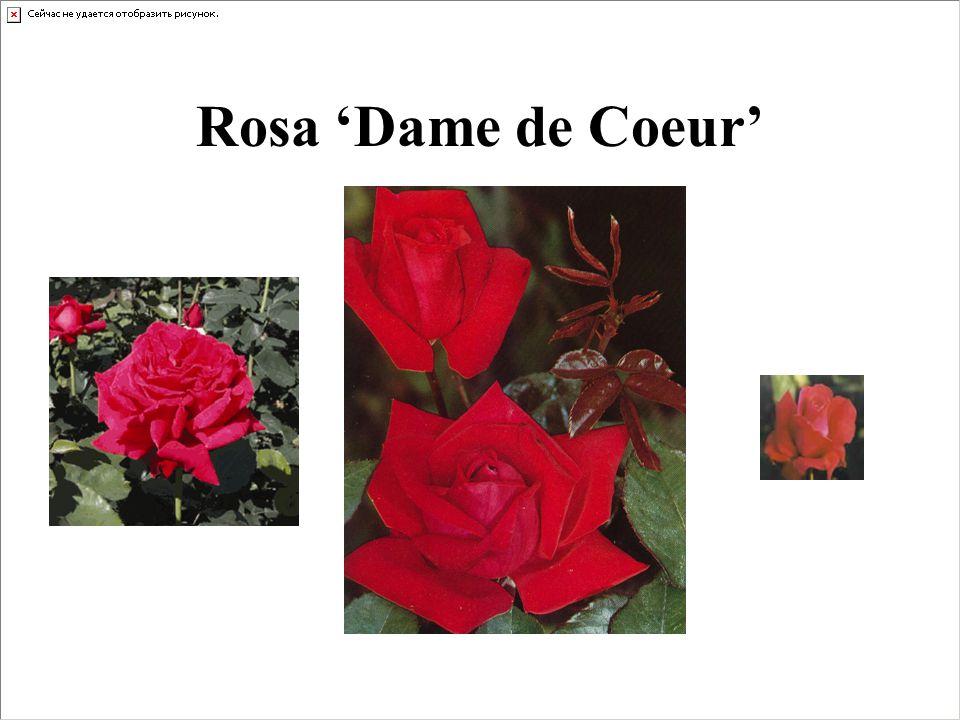 Rosa 'Dame de Coeur'