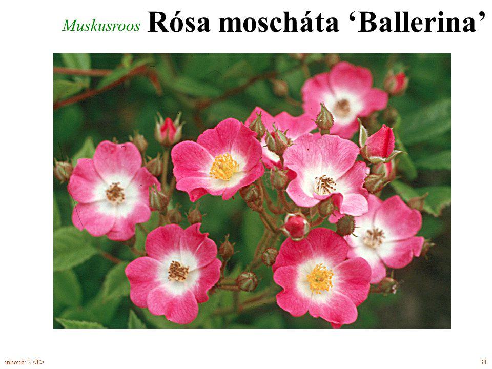 Rósa moscháta 'Ballerina'