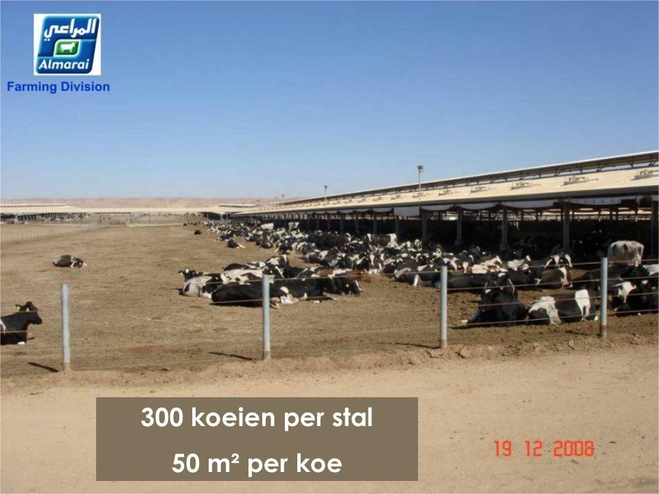 300 koeien per stal 50 m² per koe