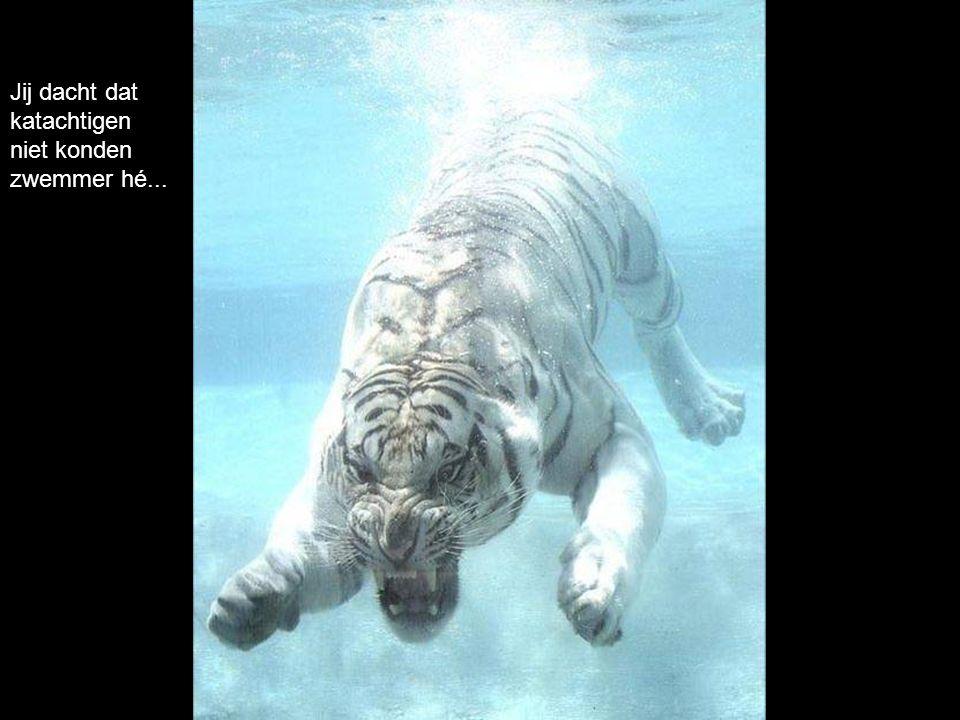 Jij dacht dat katachtigen niet konden zwemmer hé...