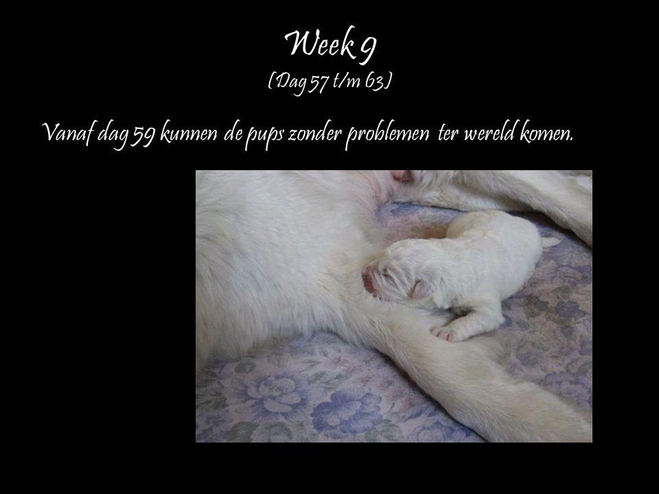 Week 9 (Dag 57 t/m 63) Vanaf dag 59 kunnen de pups zonder problemen ter wereld komen.