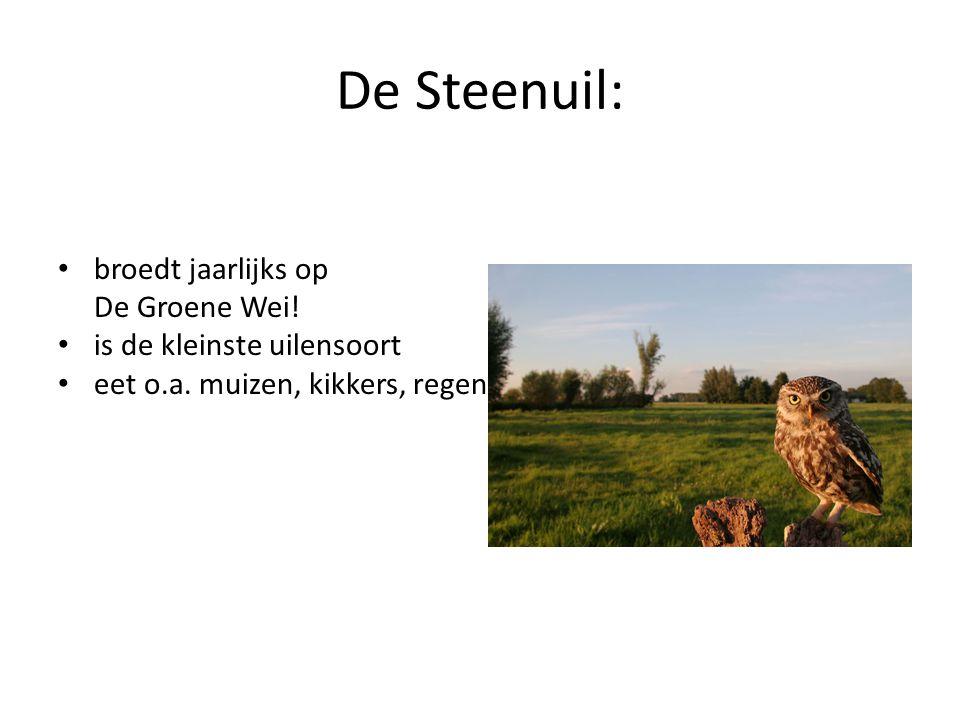 De Steenuil: broedt jaarlijks op De Groene Wei!