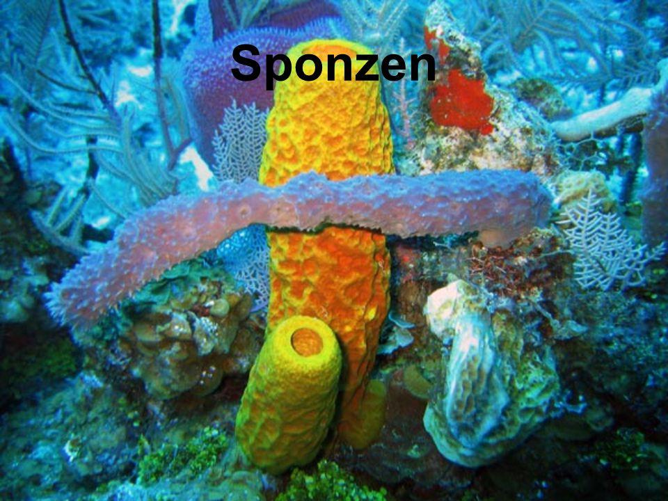 Sponzen