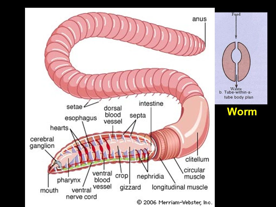 Kwal Worm