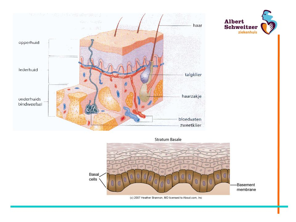 Doorsnede van de huid. Opperhuid = epidermis, lederhuid = dermis of cutis, onderhuidsvetweefsel = subcutis.