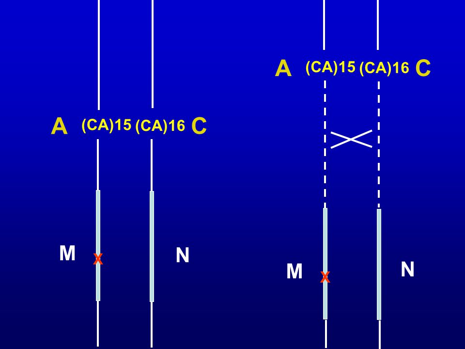 A C (CA)15 (CA)16 A C (CA)15 (CA)16 M N X M N X