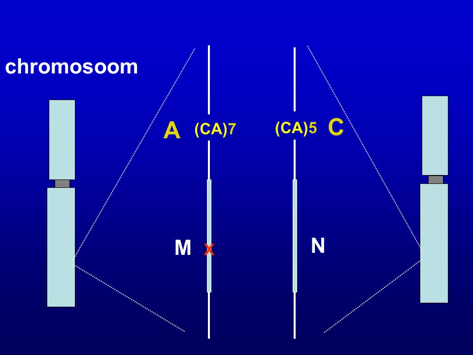 chromosoom A C (CA)7 (CA)5 M N X