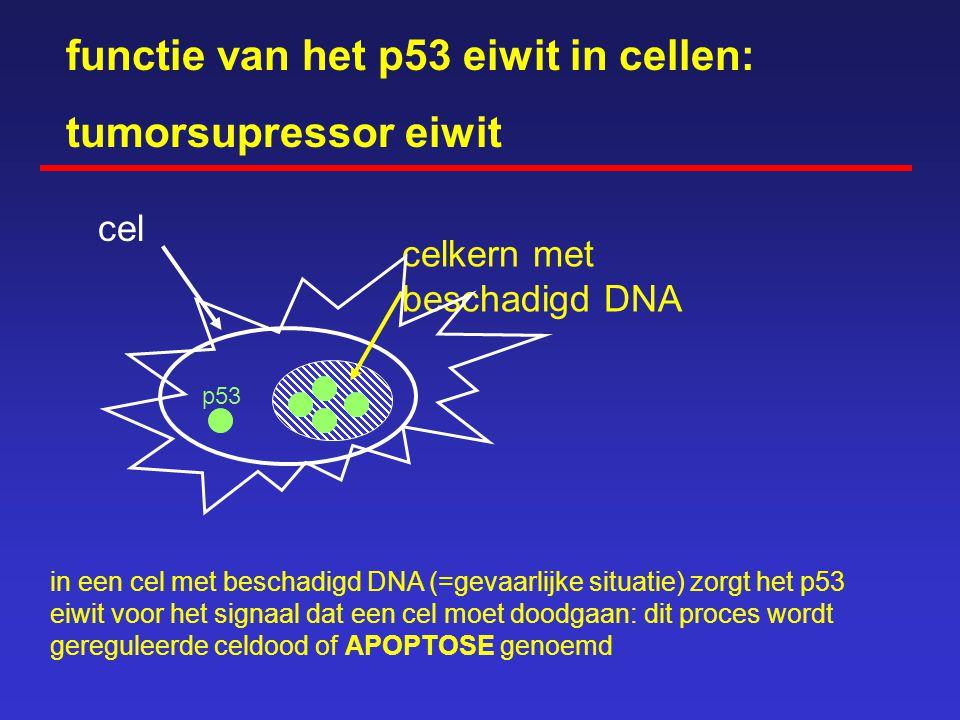 functie van het p53 eiwit in cellen: tumorsupressor eiwit