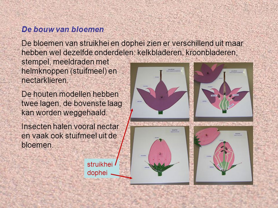 Insecten halen vooral nectar en vaak ook stuifmeel uit de bloemen.