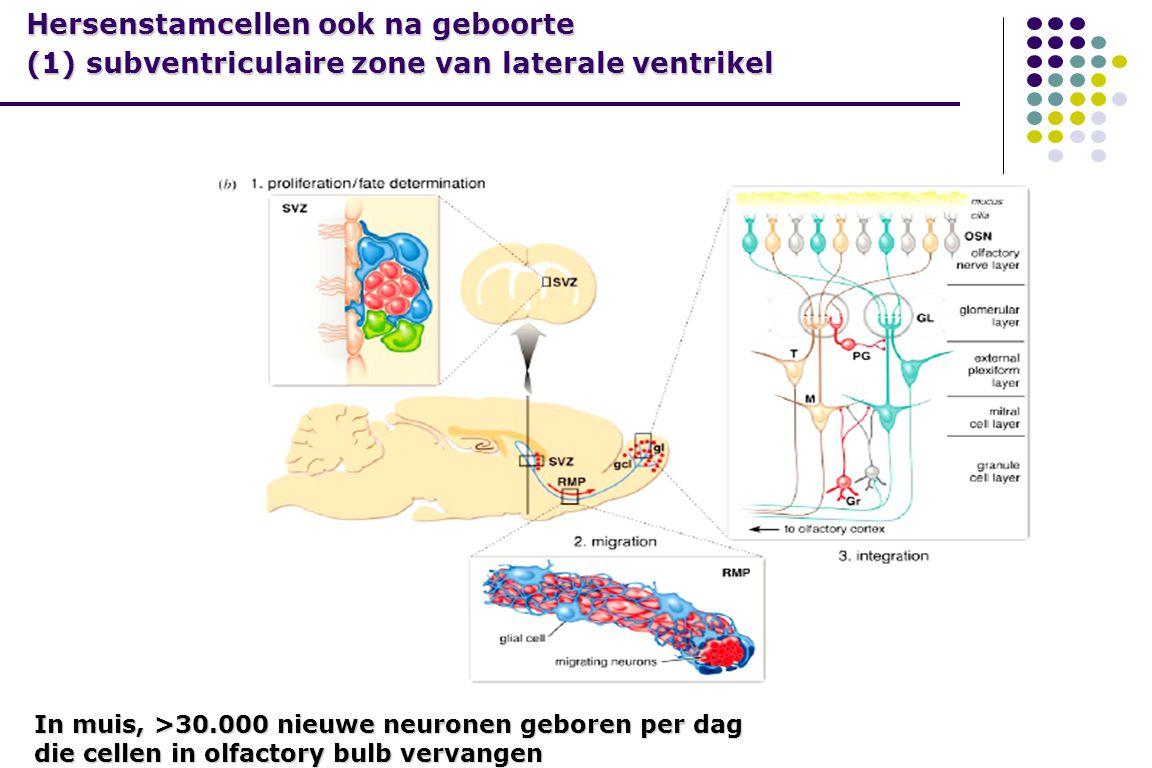 Hersenstamcellen ook na geboorte (1) subventriculaire zone van laterale ventrikel