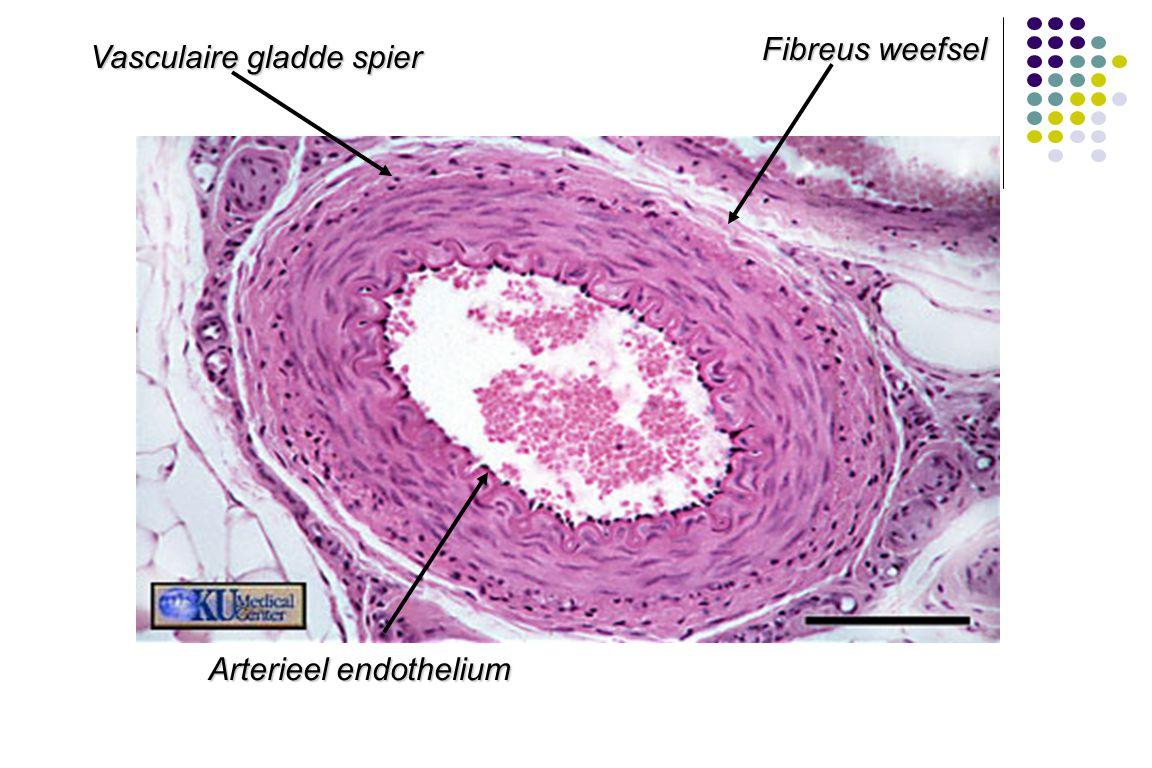 Fibreus weefsel Vasculaire gladde spier Arterieel endothelium