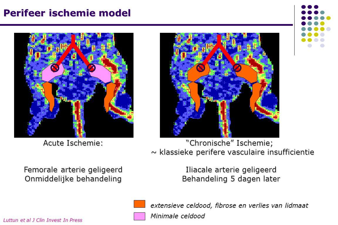 Perifeer ischemie model