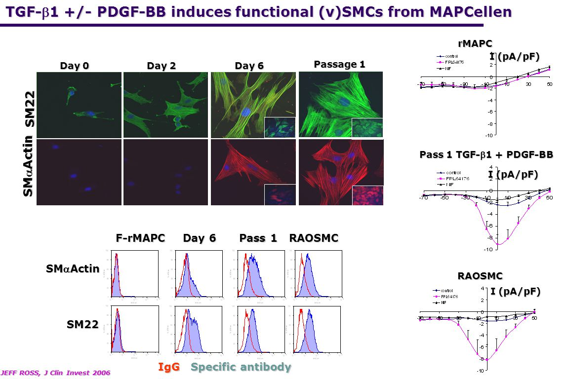 TGF-b1 +/- PDGF-BB induces functional (v)SMCs from MAPCellen