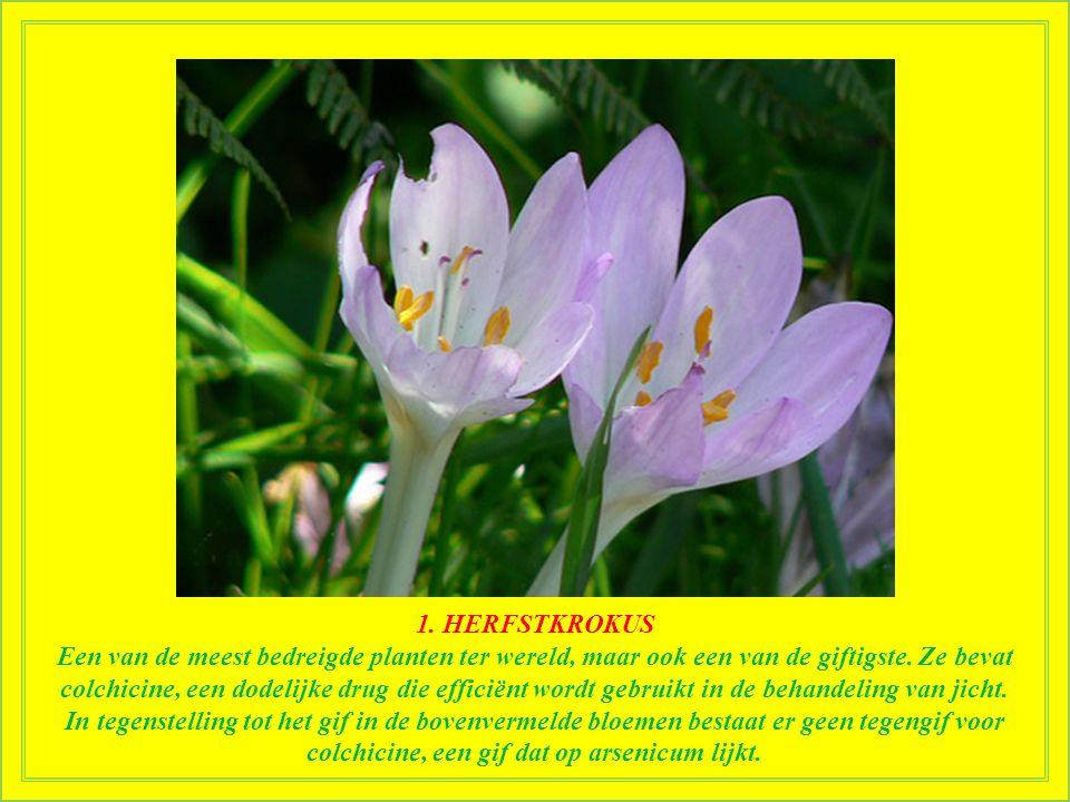 1. HERFSTKROKUS