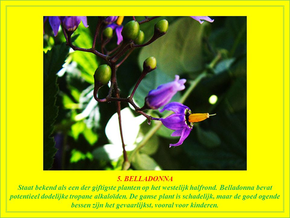5. BELLADONNA