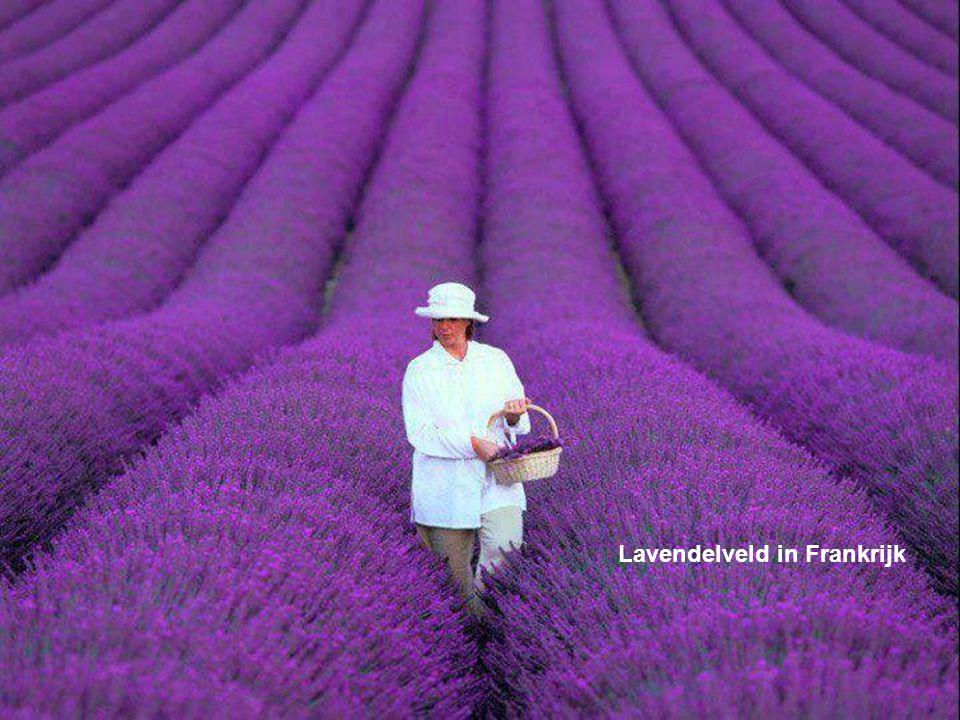 Lavendelveld in Frankrijk