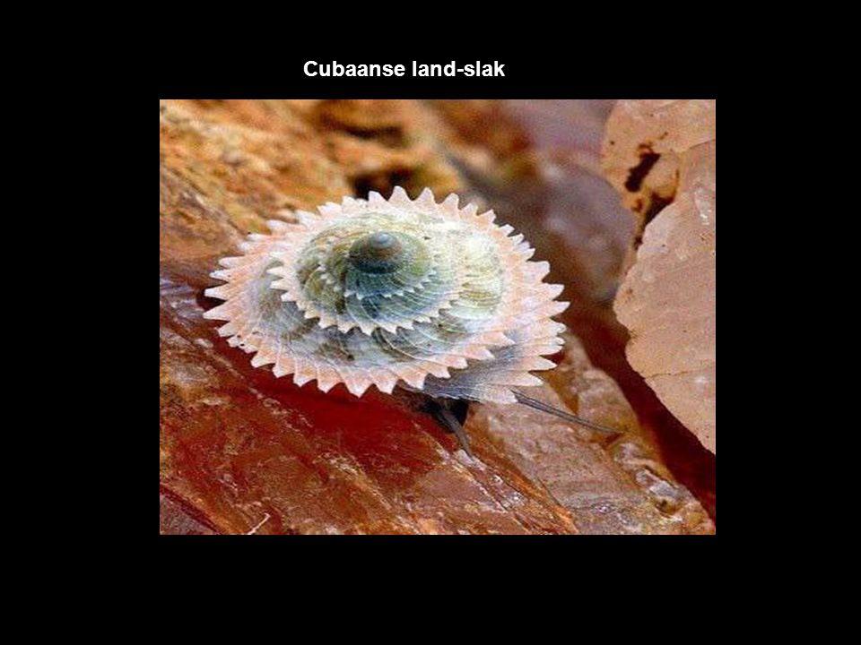 Cubaanse land-slak
