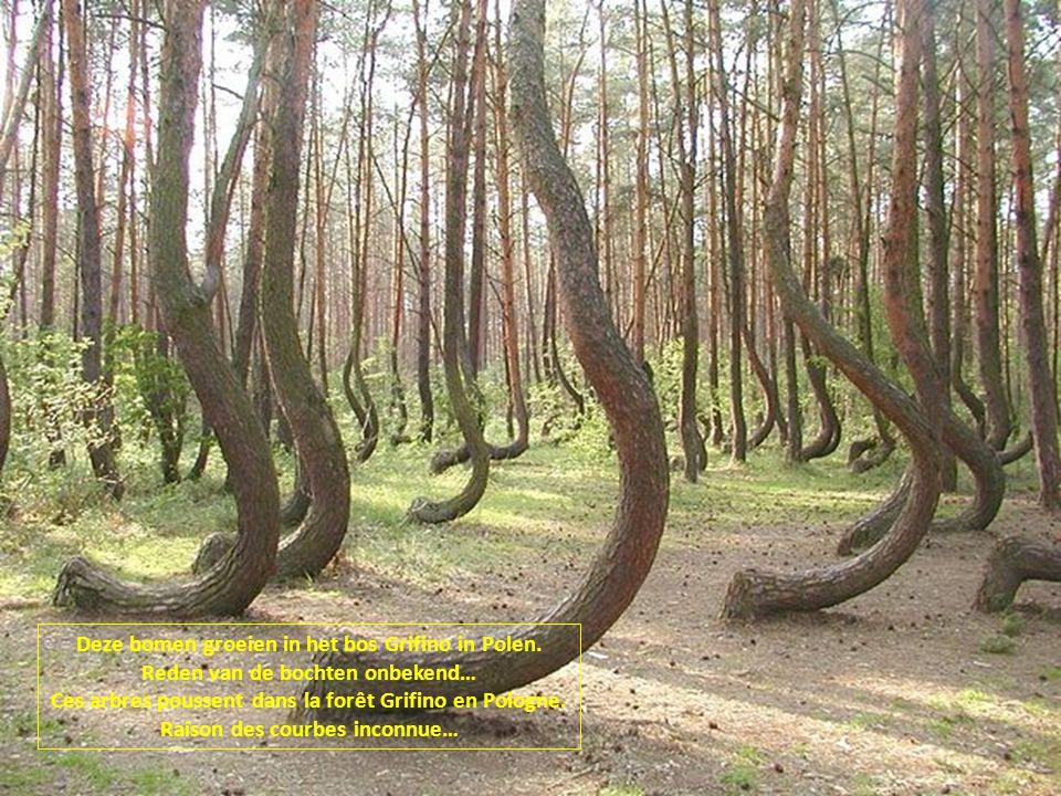 Deze bomen groeien in het bos Grifino in Polen.