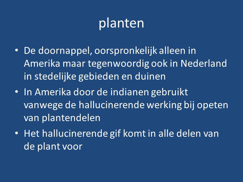 planten De doornappel, oorspronkelijk alleen in Amerika maar tegenwoordig ook in Nederland in stedelijke gebieden en duinen.