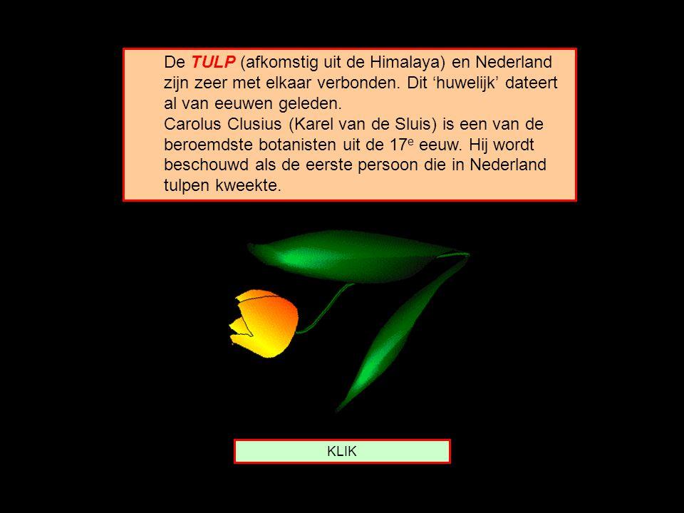 De TULP (afkomstig uit de Himalaya) en Nederland zijn zeer met elkaar verbonden. Dit 'huwelijk' dateert al van eeuwen geleden. Carolus Clusius (Karel van de Sluis) is een van de beroemdste botanisten uit de 17e eeuw. Hij wordt beschouwd als de eerste persoon die in Nederland tulpen kweekte.