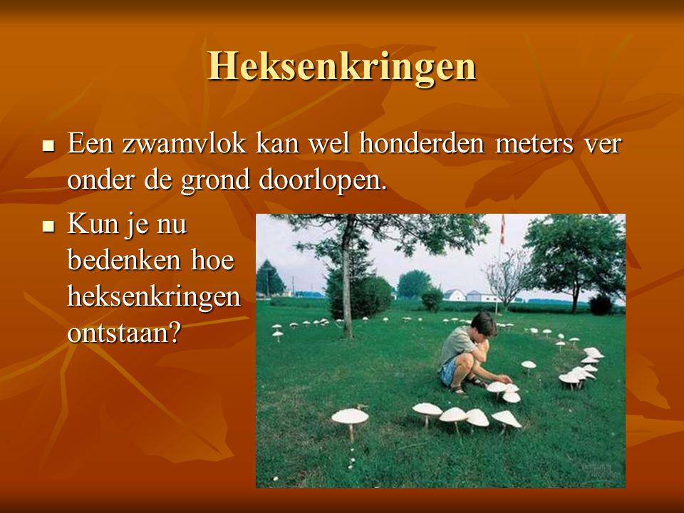 Heksenkringen Een zwamvlok kan wel honderden meters ver onder de grond doorlopen.