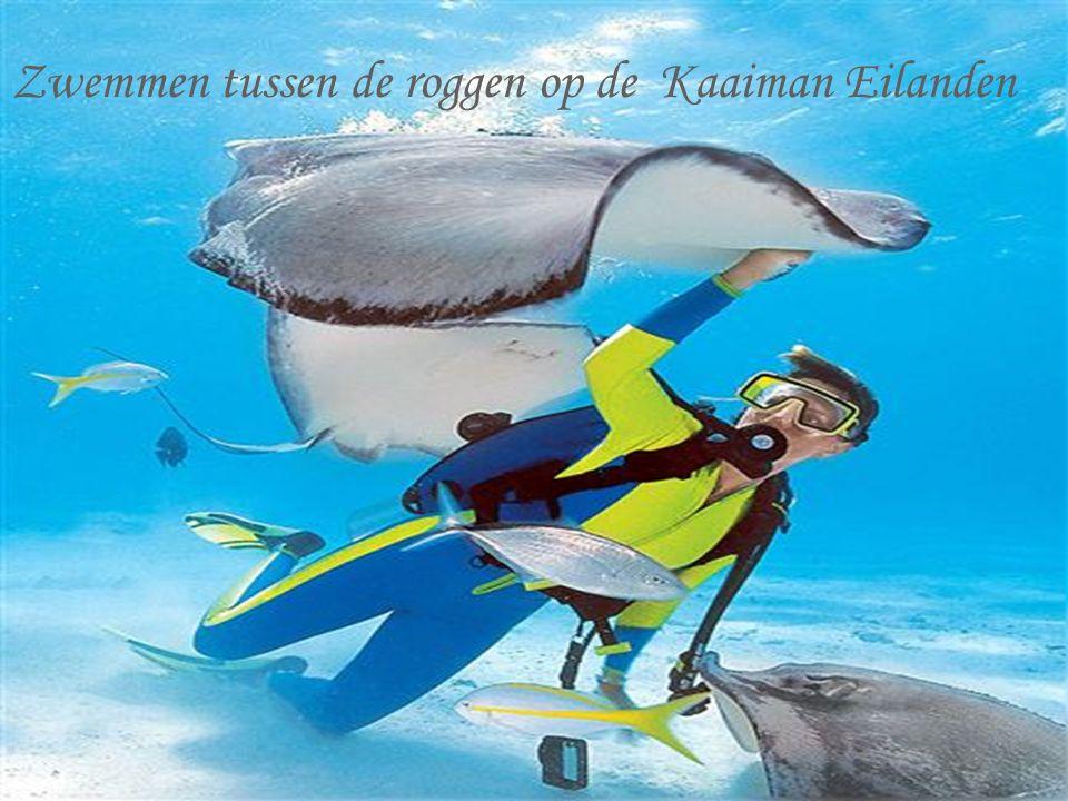 Zwemmen tussen de roggen op de Kaaiman Eilanden