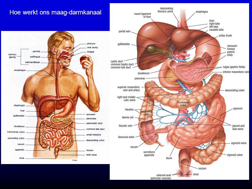 Hoe werkt ons maag-darmkanaal