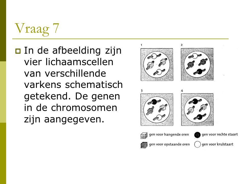 Vraag 7 In de afbeelding zijn vier lichaamscellen van verschillende varkens schematisch getekend.