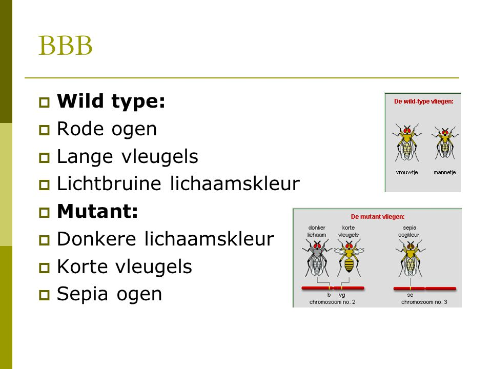 BBB Wild type: Rode ogen Lange vleugels Lichtbruine lichaamskleur