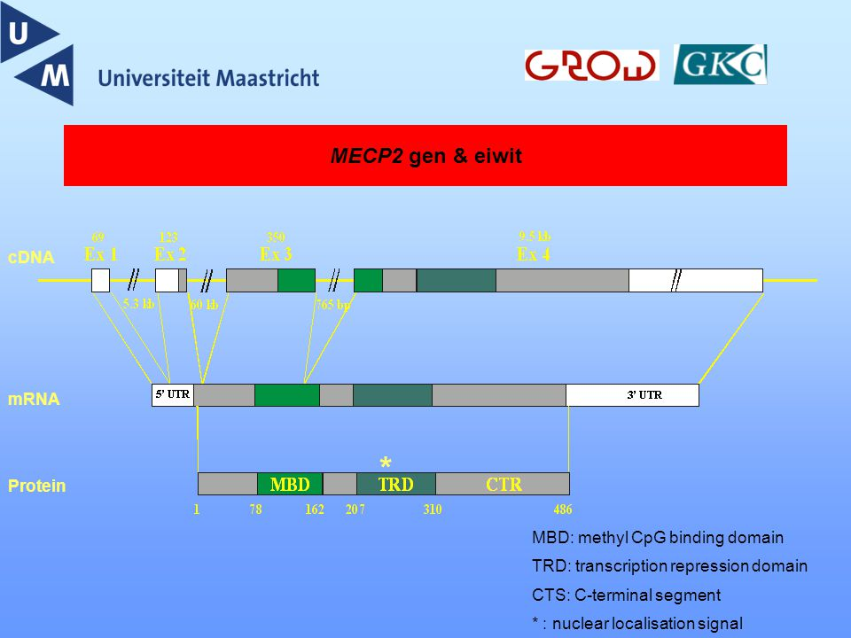 * MECP2 gen & eiwit cDNA mRNA Protein MBD: methyl CpG binding domain