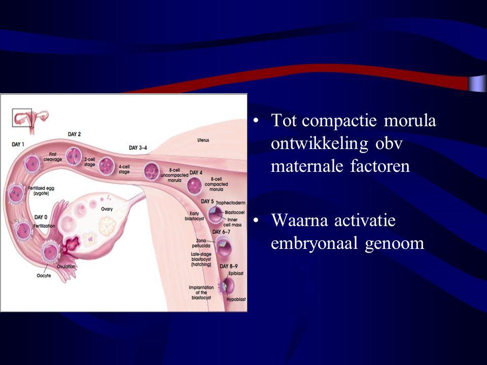 Tot compactie morula ontwikkeling obv maternale factoren
