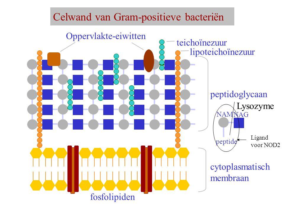 Celwand van Gram-positieve bacteriën