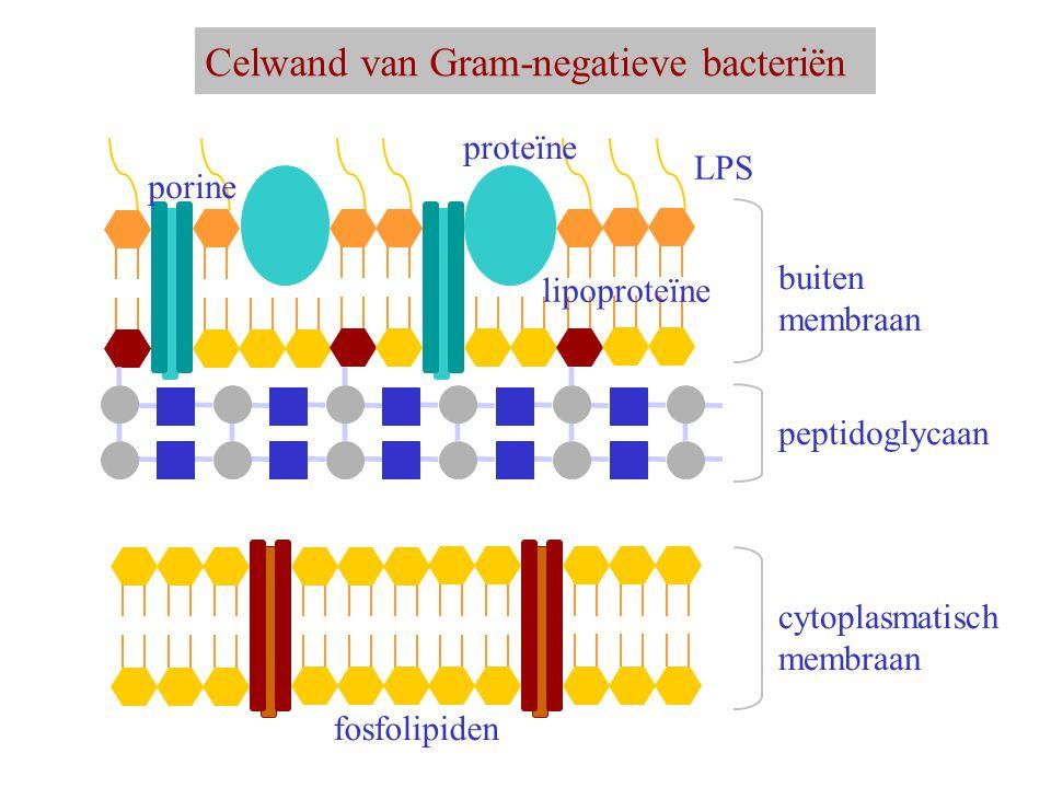 Celwand van Gram-negatieve bacteriën