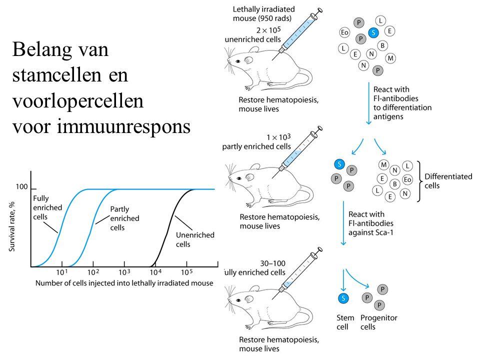 Belang van stamcellen en voorlopercellen voor immuunrespons