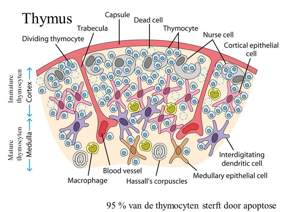 Thymus 95 % van de thymocyten sterft door apoptose thymocyten Immature