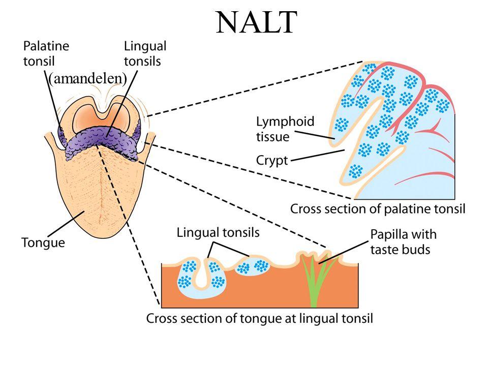 NALT (amandelen)