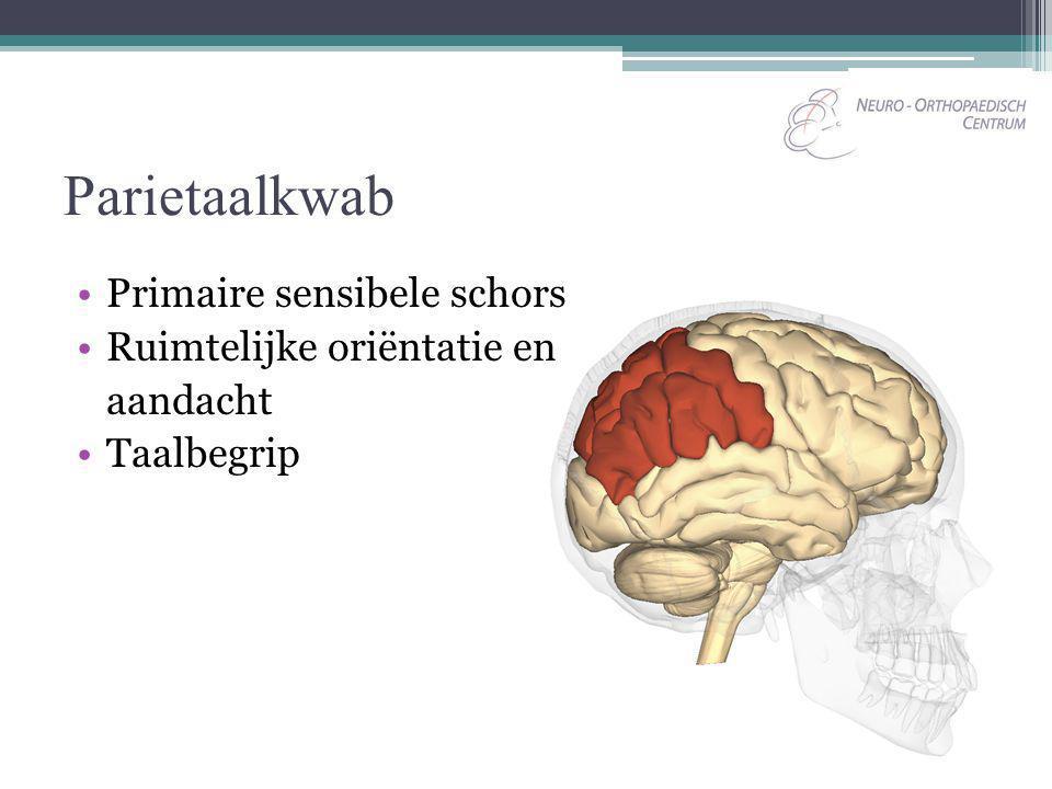 Parietaalkwab Primaire sensibele schors Ruimtelijke oriëntatie en