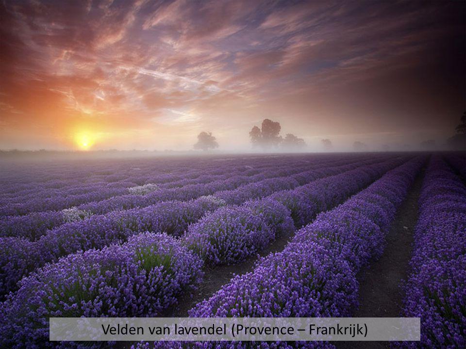 Velden van lavendel (Provence – Frankrijk)