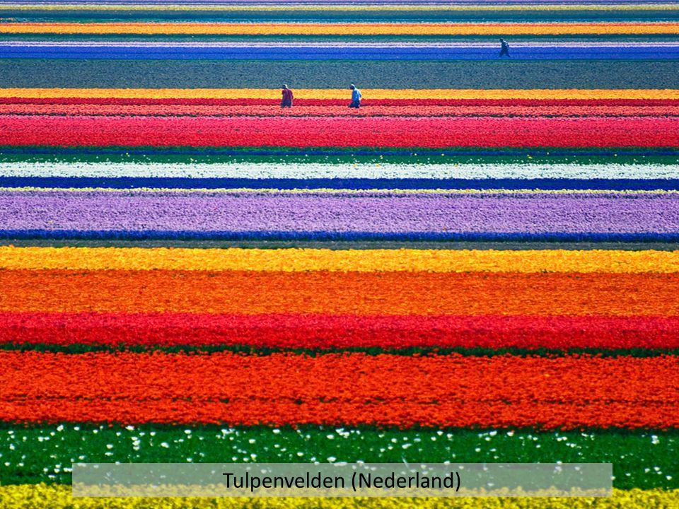 Tulpenvelden (Nederland)