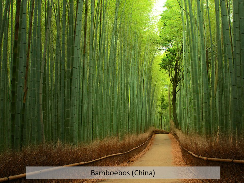 Bamboebos (China)
