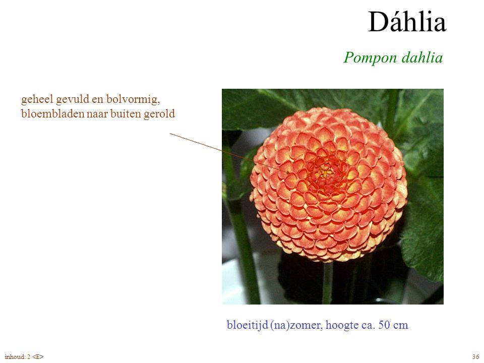 Dáhlia pompon Dáhlia. Pompon dahlia. geheel gevuld en bolvormig, bloembladen naar buiten gerold. bloeitijd (na)zomer, hoogte ca. 50 cm.