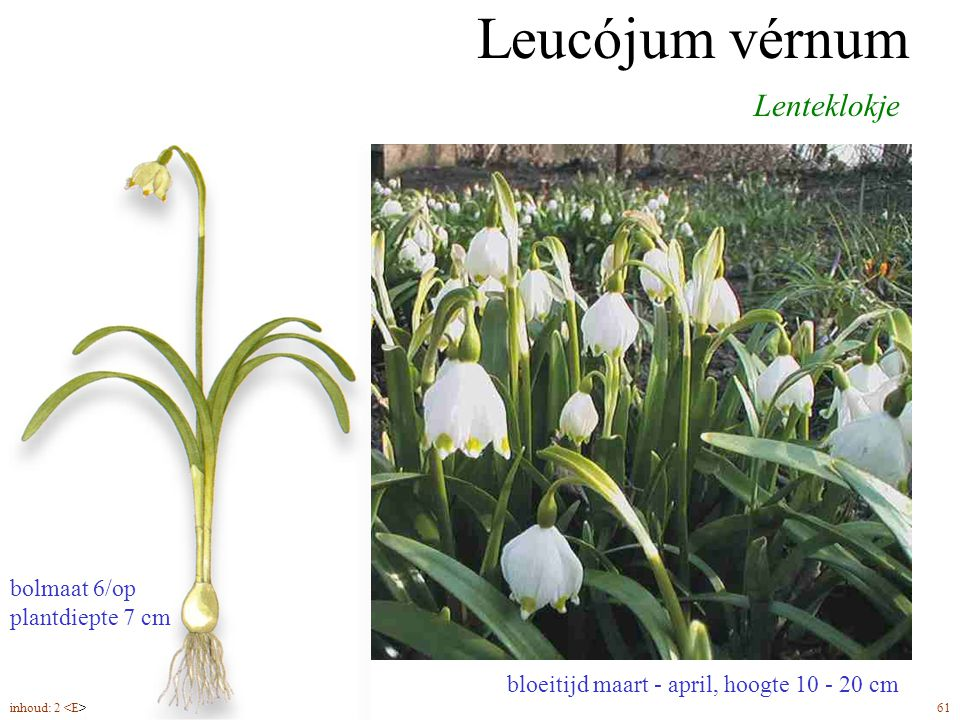 Leucójum vérnum Lenteklokje bolmaat 6/op plantdiepte 7 cm