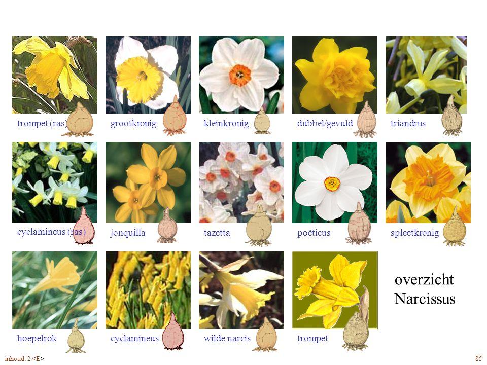 overzicht Narcissus trompet (ras) triandrus dubbel/gevuld kleinkronig