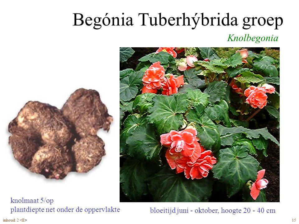 Begónia Tuberhýbrida groep